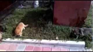 Прикол кот нападает на собаку