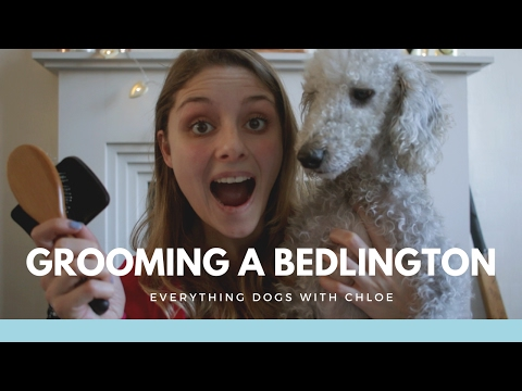 HOW TO GROOM A BEDLINGTON TERRIER  USING BRUSHES