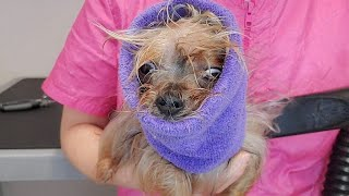 Her JAW WAS BROKEN at the groomers | Yorkshire Terrier