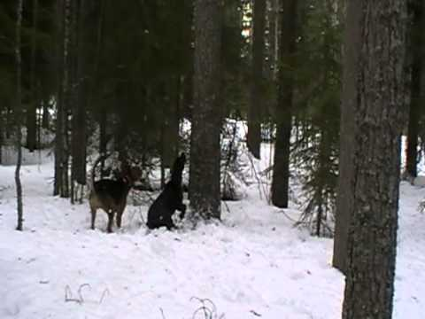 Plotthound and American Foxhound