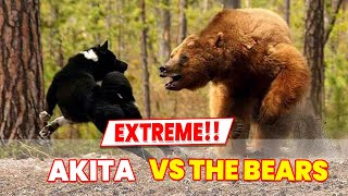 Akita Dog can be A dangerous bear hunting dog!! here is why