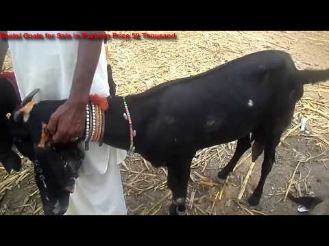 Beetal Goats for Sale in Pakistan Price 50 Thousand in urdu and