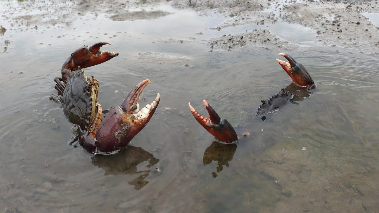 Amazing Catching Many King Mud Crabs at The Sea Swamp Near The Sea