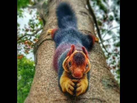 Indian giant squirrel | Malabar giant squirrel |(Ratufa indica)