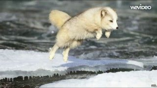 Arctic Fox: Fun Facts