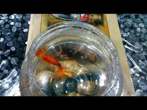 My Goldfishes