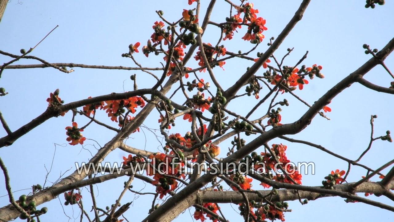 Bombax ceiba - Silk Cotton tree