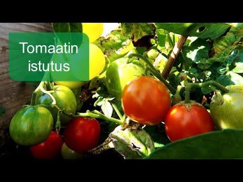 Tomaatin istutus /  Muhevaisen Minuutti