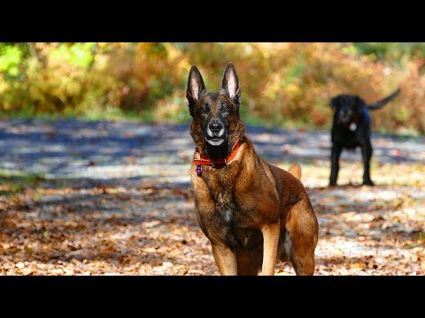 Belgian Malinois - Not for every dog owner.