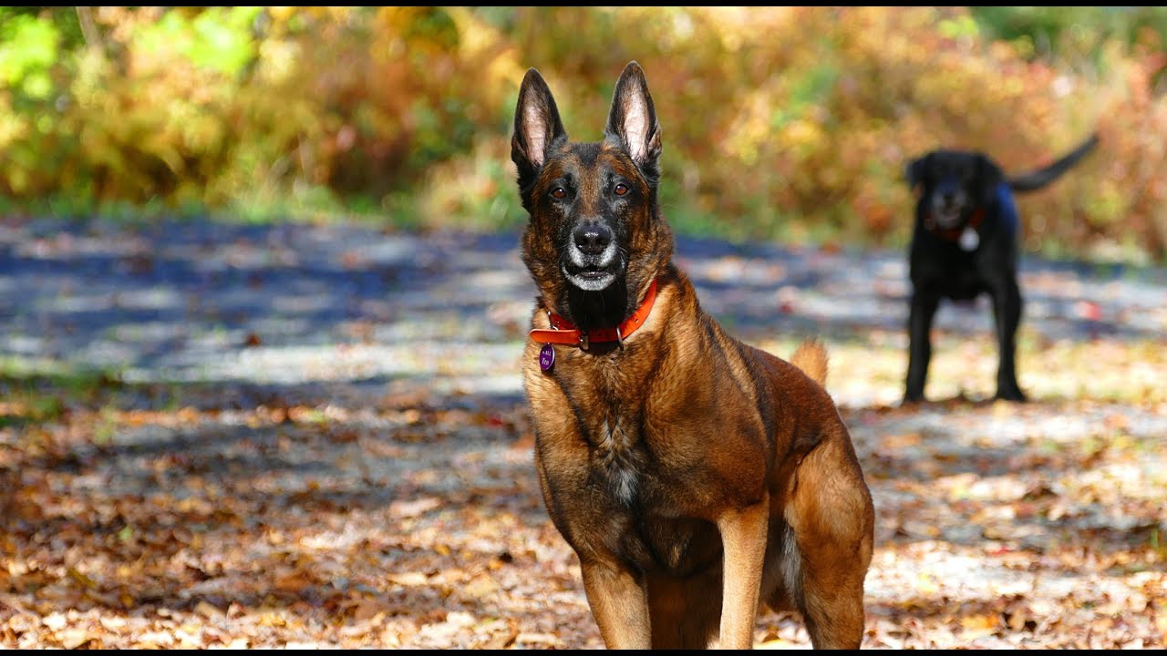 Belgian Malinois Are The Worst You