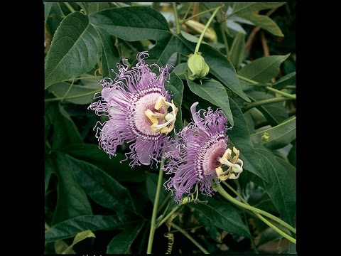 Growing the Hardy Maypop Passion Flower