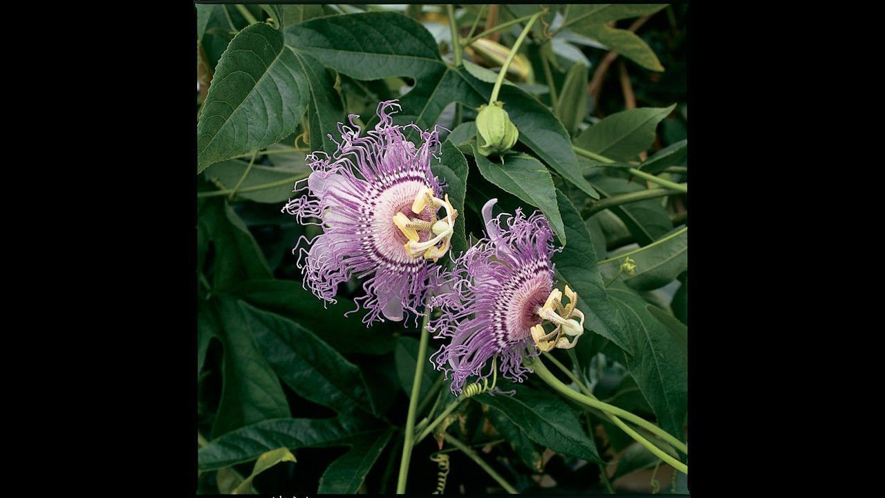 Growing The Hardy Maypop Passion Flower Youtube