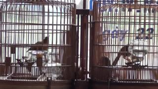 Hoa mi chien tinh Hoa Binh (Cuong HB gap Hai thanh hoa) phan 2