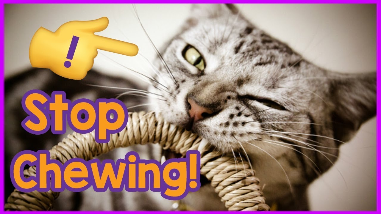 How To Stop Your Cat Chewing Why Is My Cat Destructively Chewing And How To Stop It Youtube