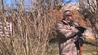 Pruning Lilacs in the Spring