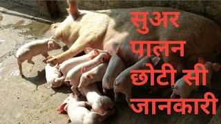 Pig farming in india kanpur, 7881137363