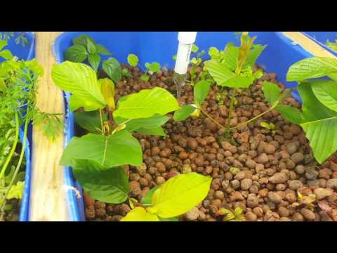 Grow Kratom in Aquaponics?