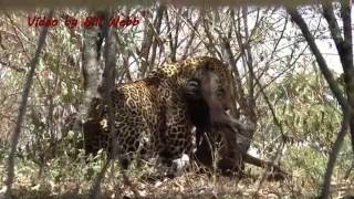 Leopard breaks down two wildebeest at once and then an amazing thing happens