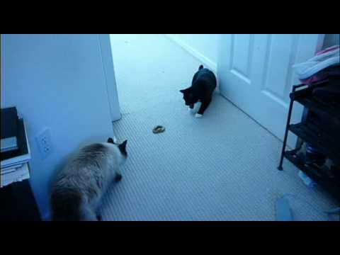 Funny Cat Videos – Cat Surprised by THE FUNNIEST TOY. New