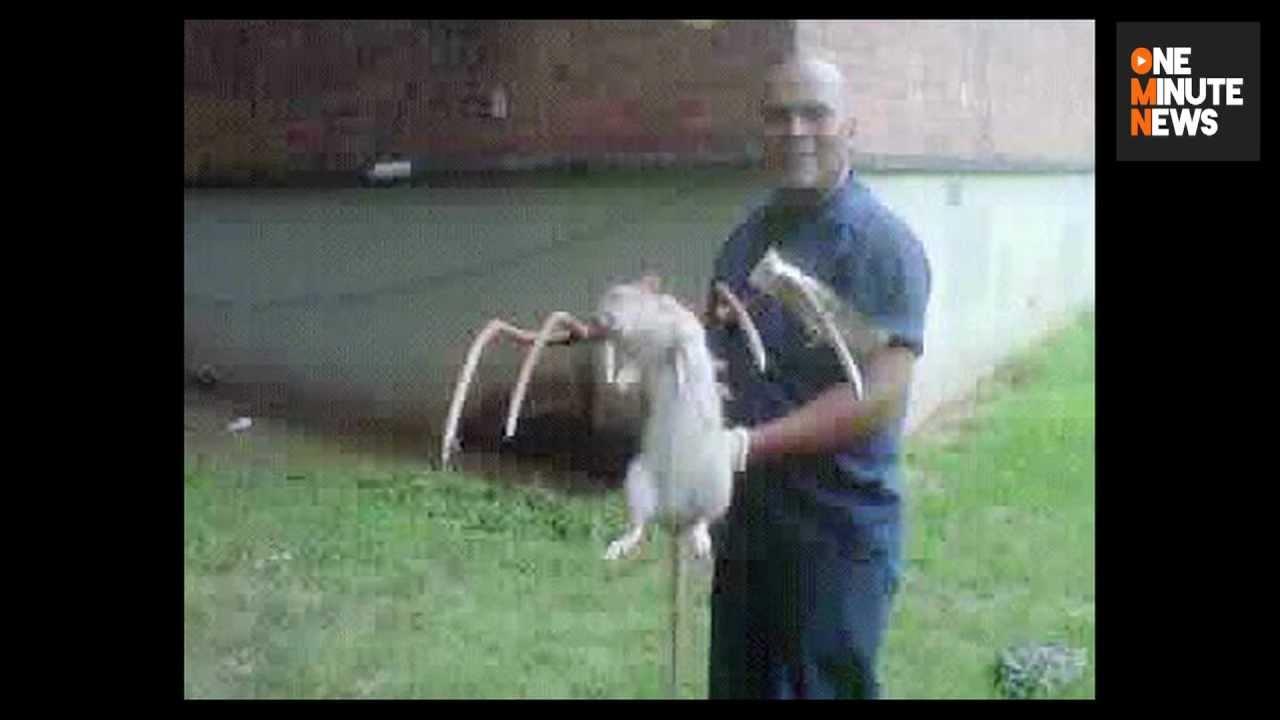 Pouch Rat Florida Keys