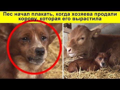 Пес начал плакать, когда хозяева продали корову, которая его вырастила