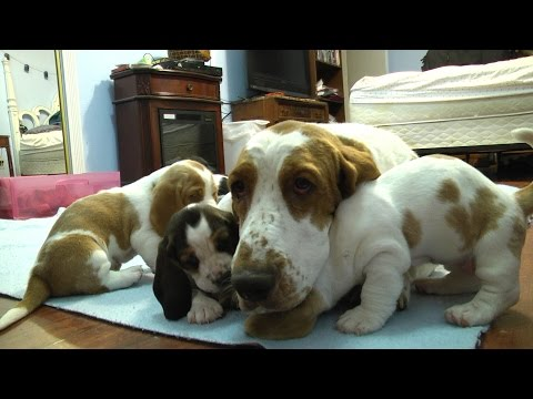 Thumbnail: Basset Hound Mom Protects Pups from Grandpa! Very Precious!