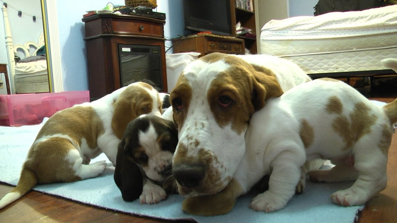 Basset Hound Mom Protects Pups from Grandpa! Very Precious ...