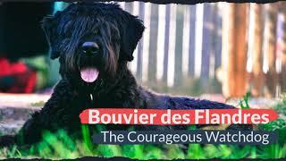 Bouvier des Flandres – The Courageous Watchdog
