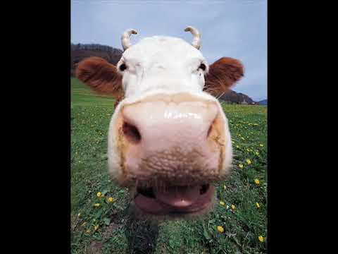 pandora mucca