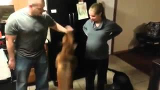 Собака защищает свою беременную хозяйку)Прикол)