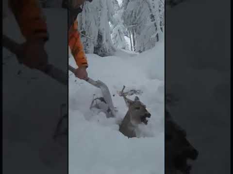 Salvataggio di un Cervo