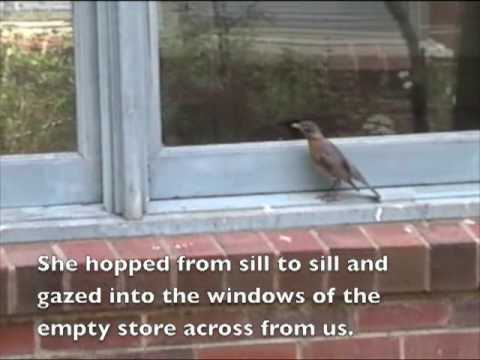Bird pecking at my window  - Natural World - Unexplained
