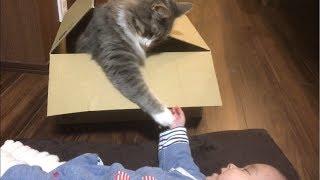 赤ちゃんの誘いに釣られる猫 ノルウェージャンフォレストキャット Cats caught for a baby invitation