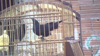 femea de passaro preto fogosa