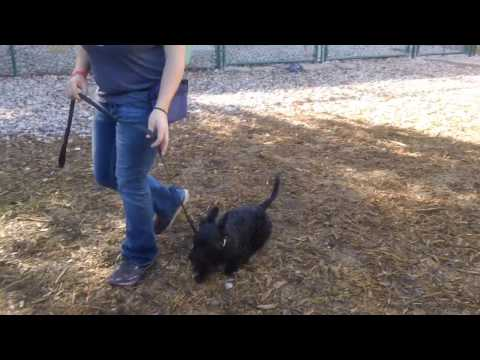 Abby week 1 Scottish Terrier