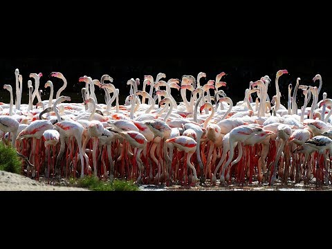 Pink flamingos feeding at Ras Al Khor Wildlife Sanctuary Dubai