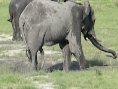Elephants pennis