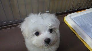 マルチーズの子犬さんです Amazonプライム会員30日間無料体験 http://ww...