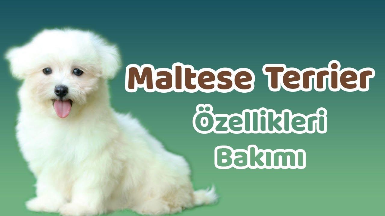 Yavru Köpek Eğitimi #1 (Otur-Bekle) İtaat [Terrier] 🐕