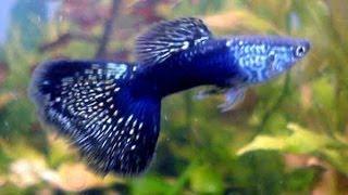 Аквариум и рыбки Гуппи Пецилии Сом