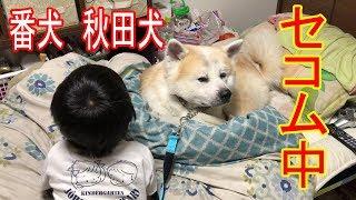 grandchild and # dog#Akita Inu #JAPANESEAKITA#秋田犬 秋田犬、惣右介...