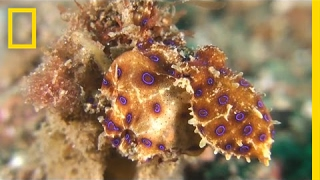 Blue-Ringed Octopus Pounces on Unsuspecting Crab | National Geographic