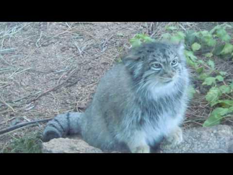 冷たい態度がたまらない!世界最古の野生ネコ【マヌルネコ】