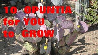 10 Opuntias For U to Grow