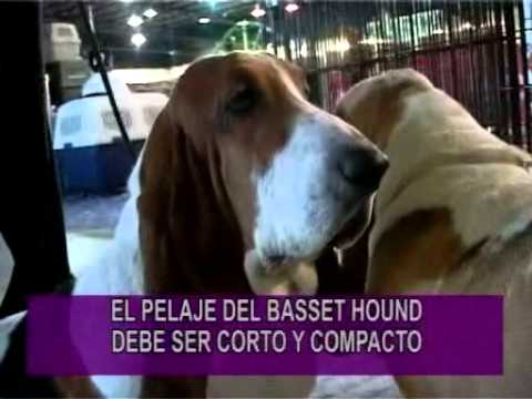 PORTESE BIEN, SEA ANIMAL -- Razas Whippet y Basset Hound Videos De Viajes