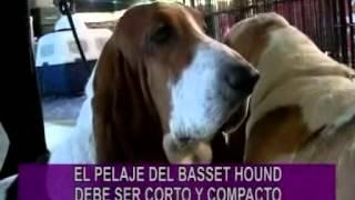 PORTESE BIEN, SEA ANIMAL -- Razas Whippet y Basset Hound