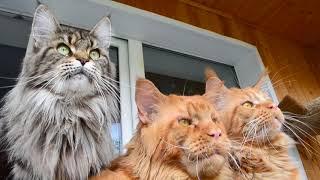 Самая крупная порода кошек и котов,мейн кун.