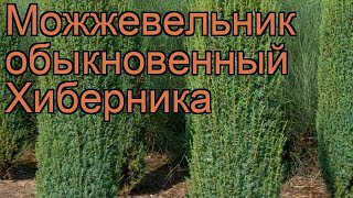 Можжевельник обыкновенный Хиберника (hibernica) ???? обзор: как сажать, саженцы можжевельника Хиберника