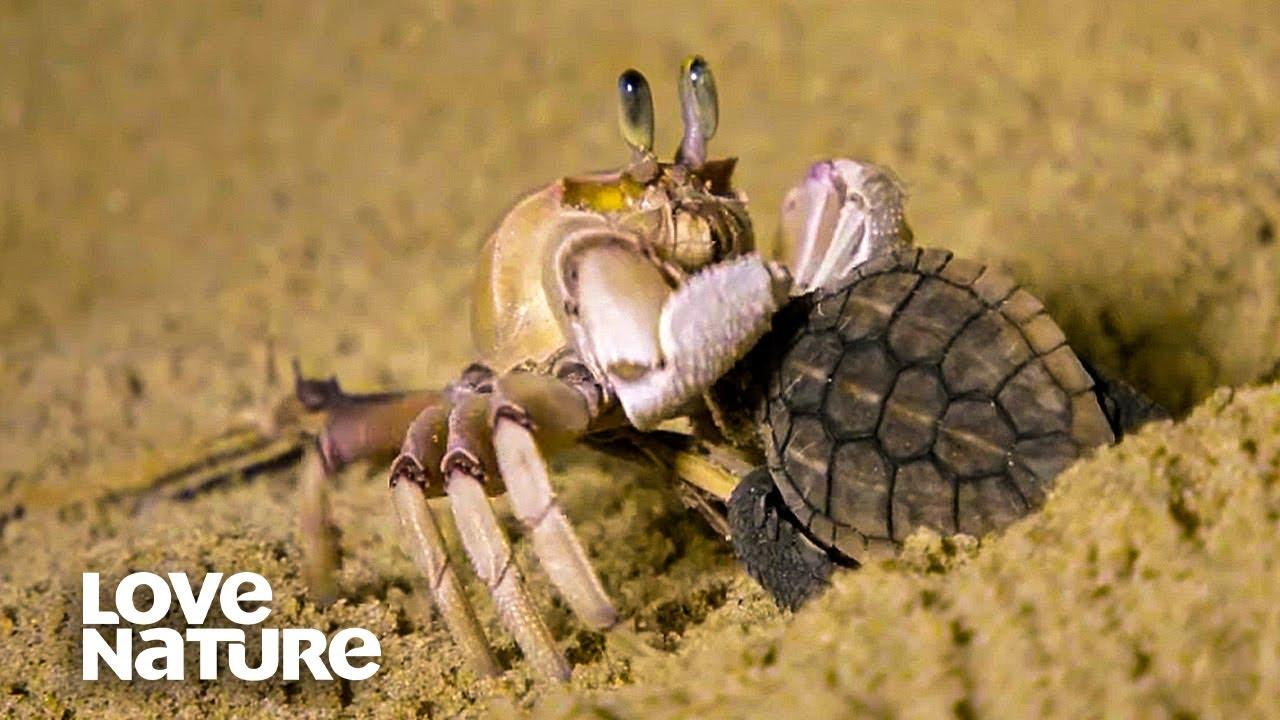 Baby Sea Turtle Battles Ghost Crab
