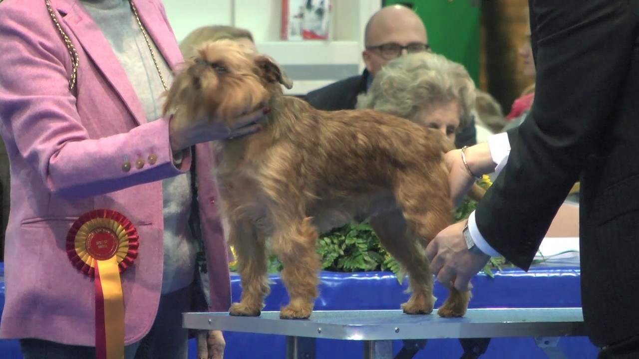 Group Toy Dogs : Manchester dog show toy group full funnydog tv